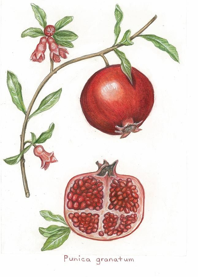 Dissection Of A Pomegranate Drawing by Linda Kemp - Dissection Of A Pomegranate Fine Art Prints and Posters for Sale