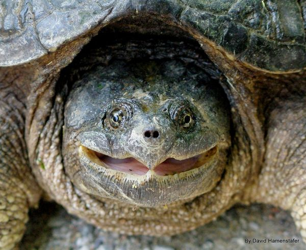 The modern snapping turtle evolved over 40 million years ago, while anatomically modern humans emerged only 200,000 years ago. Snapping turtles hung out with dinosaurs, but they're not closely related at all. Birds have more in common with dinosaurs than snapping turtles do.