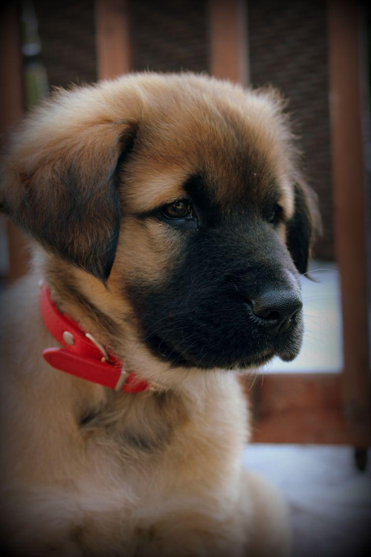 Leonberger MY DOG LÉON