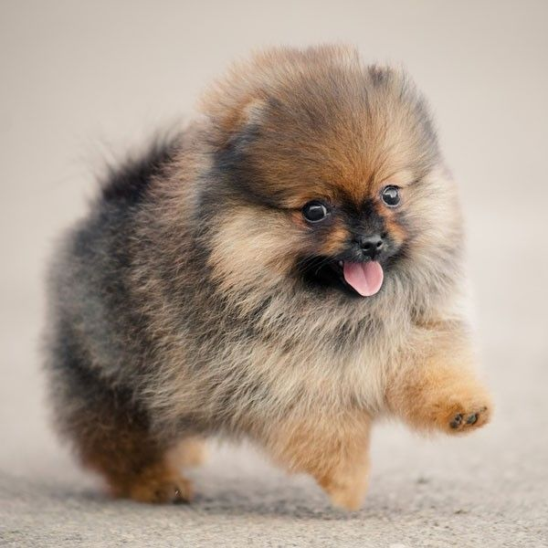 most popular miniature dog breeds