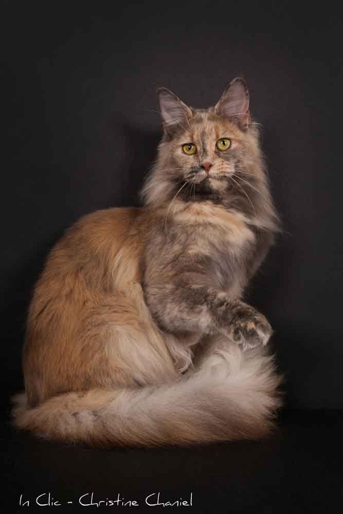 Chatterie de Saint Paul - Elevage de Maine Coon - Pension pour chat - Les femelles http://www.mainecoonguide.com/maine-coon-personality-traits/