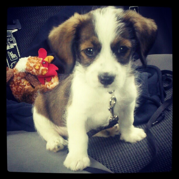 my puppy, Leopold. :) He's a Cavalier King Charles Spaniel/Jack Russel Mix