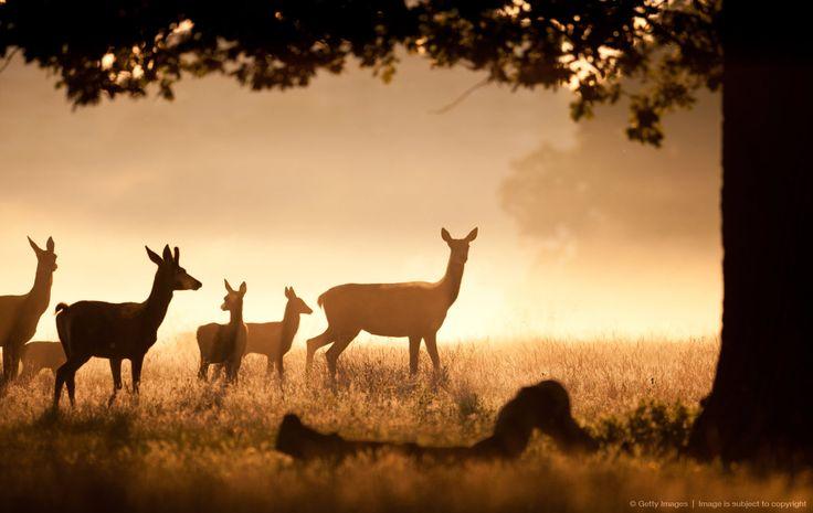 Deer Herd with fawns