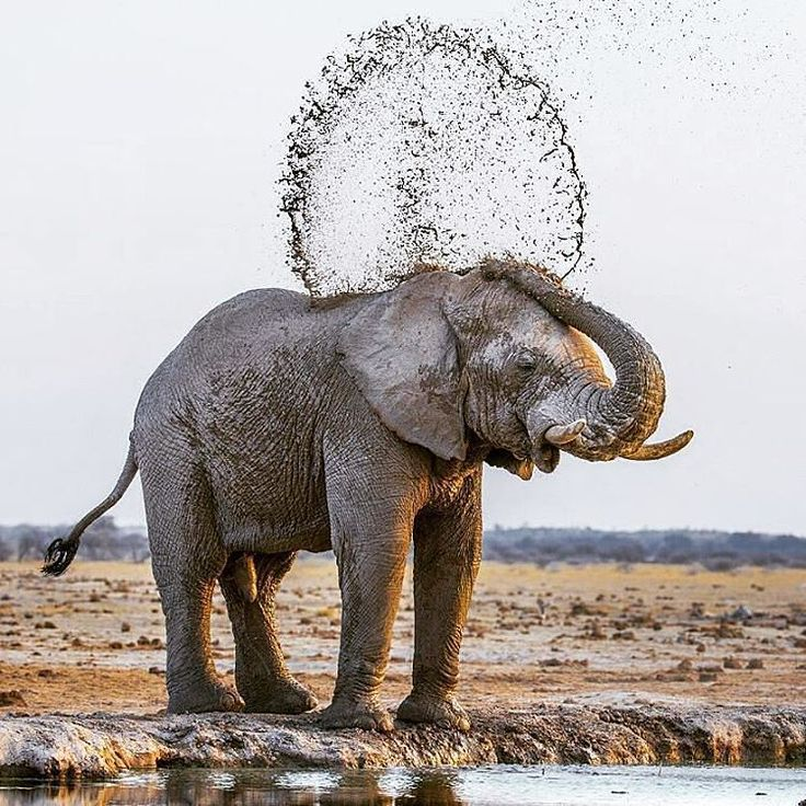 . Mud Games Photography by © (sue green). Young elephant throws muddy water over his back at the waterhole. I realised that he threw the water in all different directions. #botswana #Elephant #Mud...