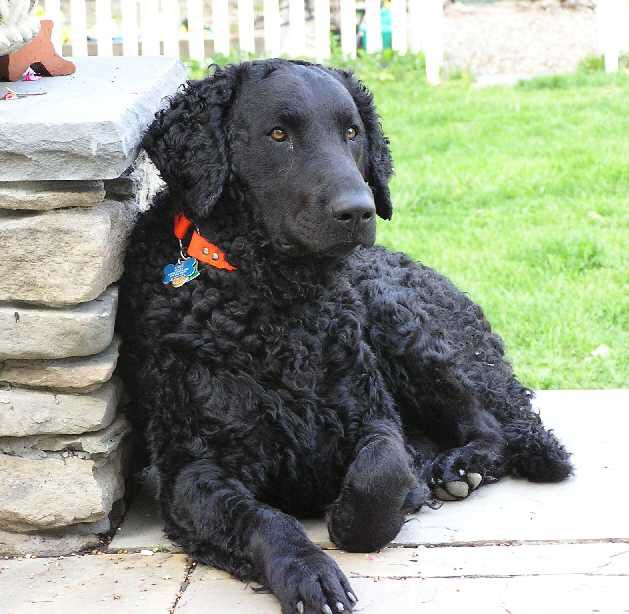 Curly coated retriever, black