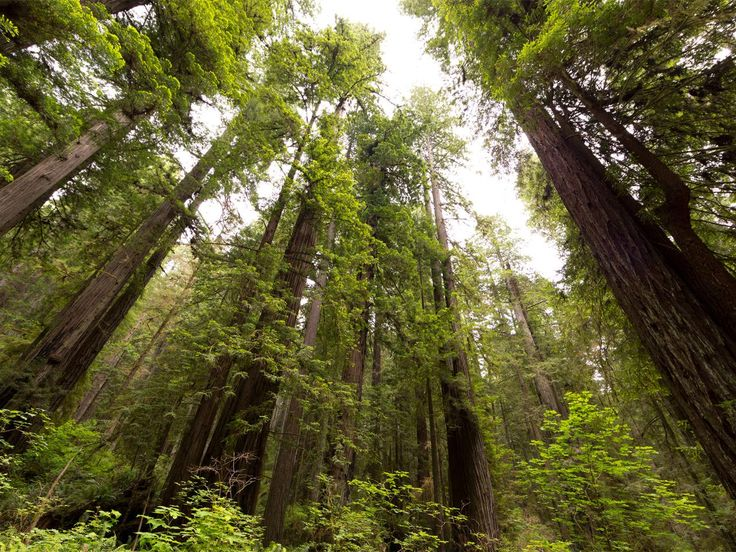 Redwood National Park : The redwoods are the planet's tallest living organisms!  They are amazing! Best National Parks of the West : TravelChannel.com