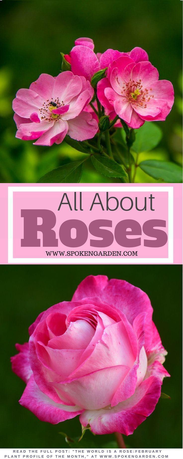 Roses A Gardener S Guide And Plant Profile Spoken Garden