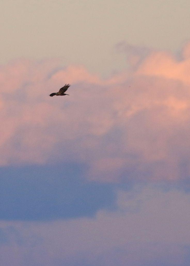 チュウヒ Eastern marsh harrier