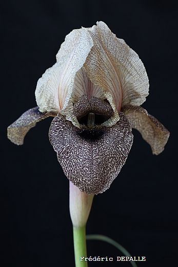 Iris Damascena - not a hellebore but Irises were my grandmother's favorite flower so this might make a great tattoo, too.