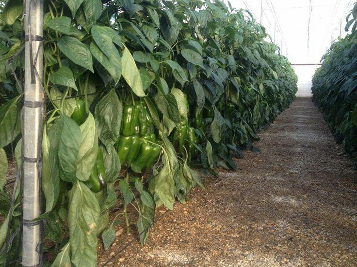 más de 25 bellas ideas sobre cultivo de pimiento en pinterest