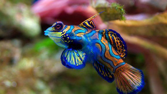 اجمل الاسماك فى العالم Mandarin Fish Most Beautiful Animals Animals Beautiful