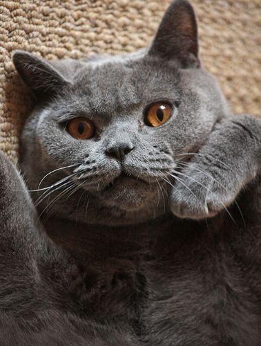 rufus my british shorthair cat this is my british blue cat rufus who ...