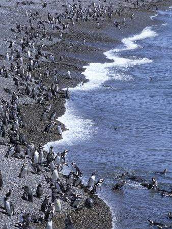 Magellan Penguin Colony, Punta Tombo, Patagonia, Punta Tombo Provincial Reserve, Argentina
