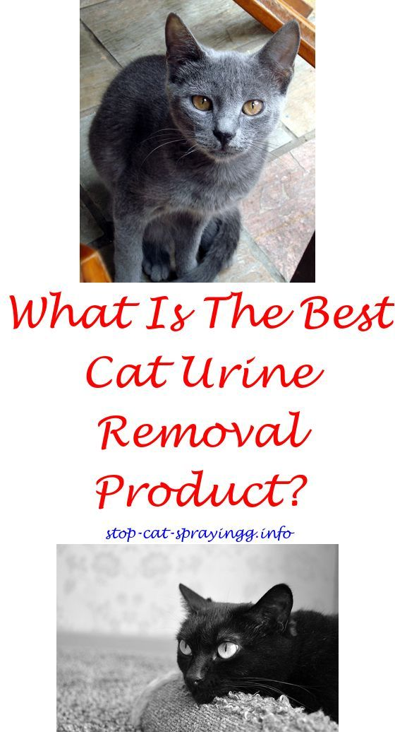Keep Cats From Peeing On Furniture Cat Pee Pet Urine   Cat Spray  Tips.spayed Female Cat Spraying Get Cat Pee Out Of Carpet How To Get Cat  Pee Out Ou2026