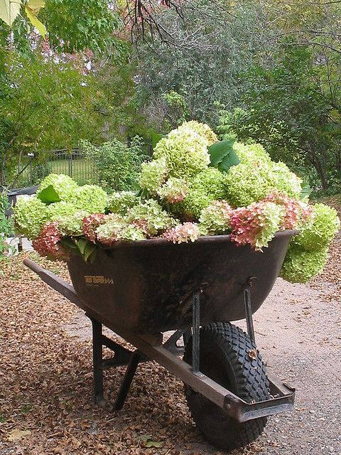 Cutting annabelle & pee gee hydrangea for drying. Wonderful wheel barrel!