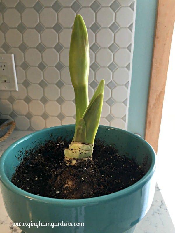 How To Grow Amaryllis Indoors The Perfect Winter Flower Gingham Gardens Amaryllis Bulbs Amaryllis Flowers Amaryllis Care