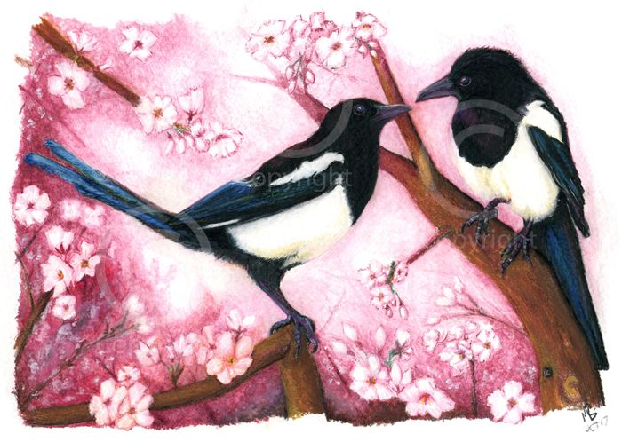 Two magpies in a pink bossom tree, in watercolour pencils - A hand-drawn watercolour pencil drawing of two magpie garden birds amongst pink blossom. Hand-drawn as part of my British Garden Birds collection, I created this artwork using watercolour pencils. This drawing was created on watercolour paper using Derwent watercolour pencils.