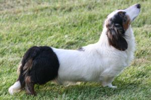anjing Longhaired Dachshund