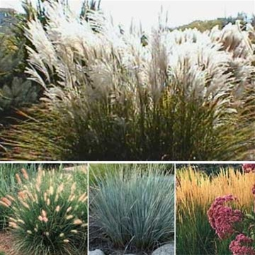 26 best images about gardening on pinterest ornamental for Landscaping grasses varieties