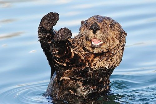 It's Sea Otter Awareness Week, Let's Have A Caption Contest!