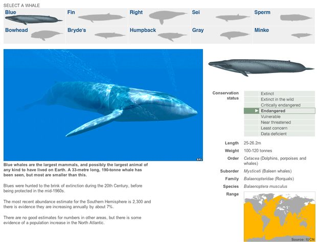 Interactive online: Blue whales are the largest mammals, and possibly the largest animal of any kind to have lived on Earth. A 33-metre long, 190-tonne whale has been seen, but most are smaller than this. Blues were hunted to the brink of extinction during the 20th Century, before being protected in the mid-1960s. The most recent abundance estimate for the Southern Hemisphere is 2,300 and there is evidence they are increasing annually by about 7%...