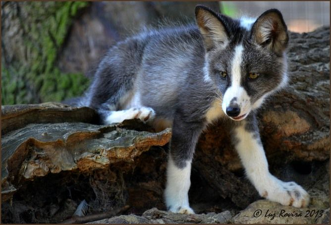 Domesticated silver fox! (from Why so many domesticated mammals have floppy ears   IFLScience)