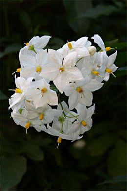 Jasmin-Solanum