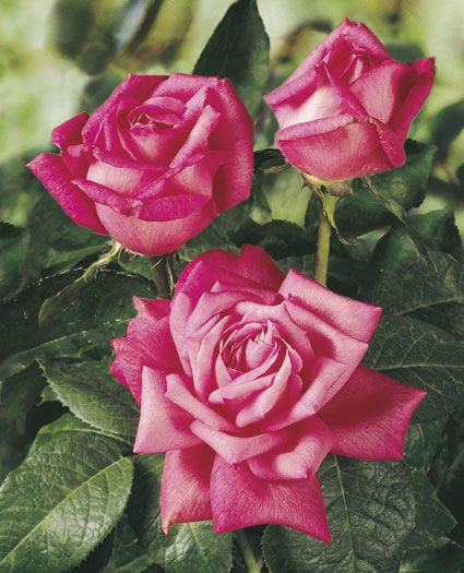 Perfume Delight Hybrid Tea Rose - Big shapely buds and blooms are born on long, strong stems. Her sweet fragrance will lure you to her every time.