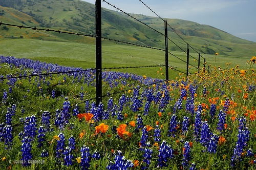 Tehachapi - Lupine and poppies together, nothing prettier,  by Chief Bwana, via Flickr