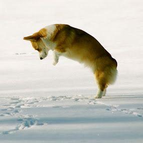Imitating a coyote hunting for mice? Pembroke Welsh Corgi