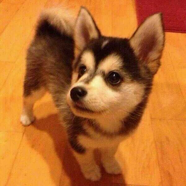 /Husky Mix. A Pomski.: Animals, Puppies, Dogs, Pet, Corgi, Husky Mix ...