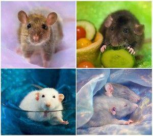 Домашние крысы и как за ними ухаживать