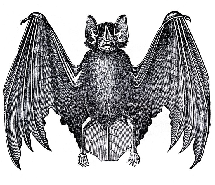 vintage bat clip art from the Graphics Fairy.
