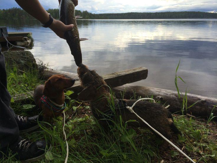 Kalastuksen ihanuus #elisakesä :) kesäilta #Uukuniemellä