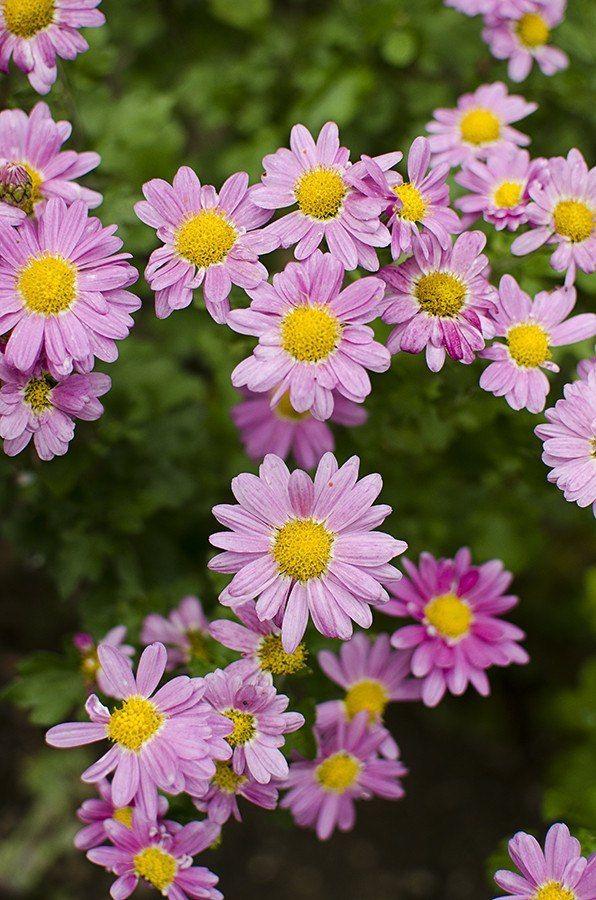 Chrysanthemum - Fall Mum