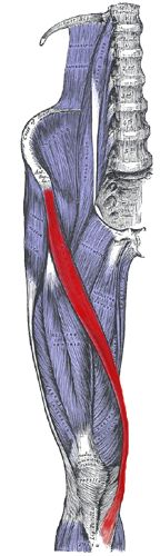 Origin and insertion of the sartorius muscle. Actions, synergistic and antagonistic muscles!