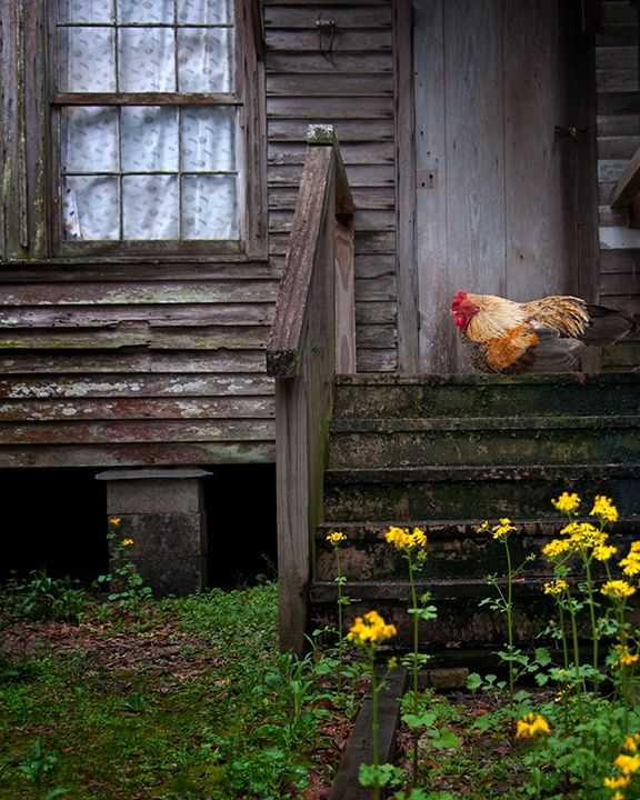 Chicken On Old Farm House Back Porch Step...I'd like to have a print of this for my kitchen!
