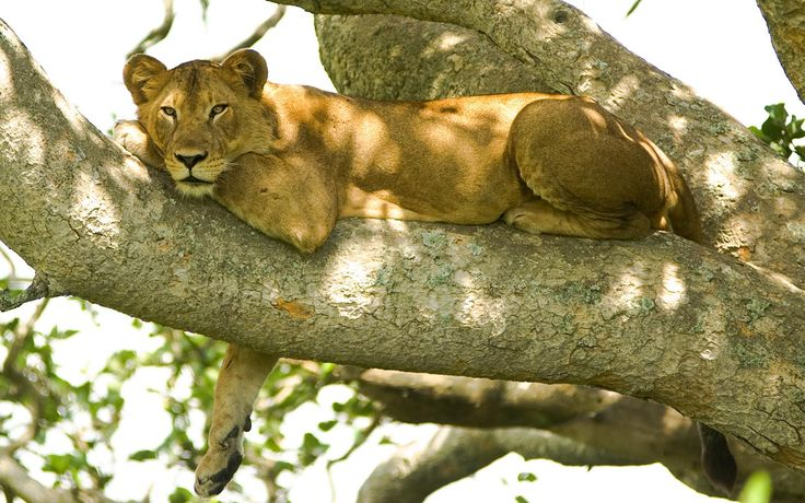 Lion on the tree, Tanzania