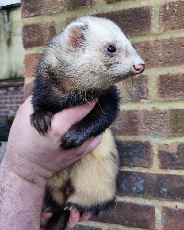 Here Is The First Ferret Friday Feature We Start With The Only Male In My Ferret Famil Service Animal Pets Small Pets