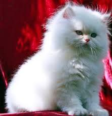 Картинки по запросу персидские кошки виды