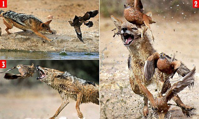 Extraordinary pictures show jackal repeatedly missing its prey