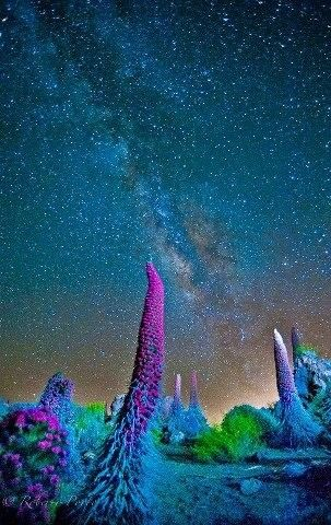 Tajinastes y las estrellas. Caldera del Teide. Tenerife