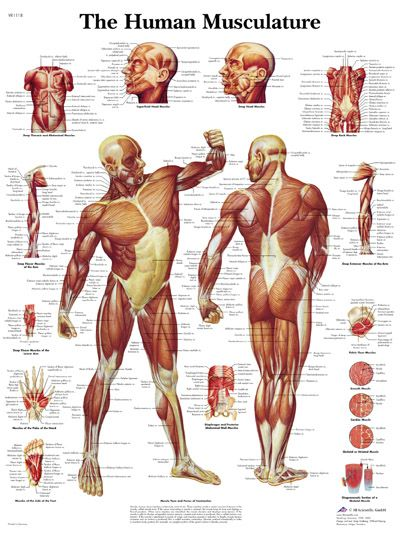 16 best anatomy: pelvis images on pinterest, Muscles