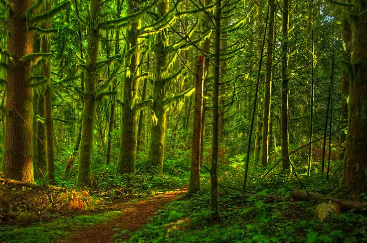 This photo was taken in the University of British Columbia research forest about an hours drive East of Vancouver in Maple Ridge, BC. The sunlight streaming through the forest, reflecting off the hanging northern moss, was too much for me to resist.