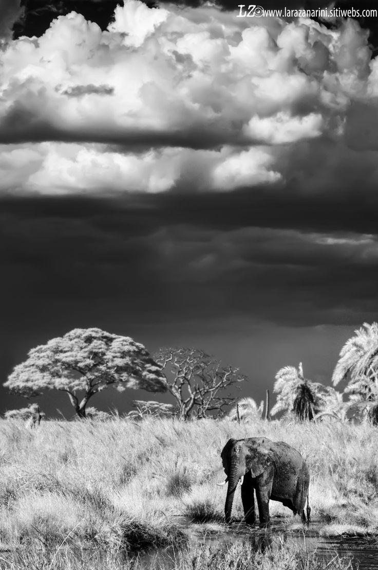 #Infrared #africa #Safari #elephant #wild #blackandwhite #blackandwhitephotography
