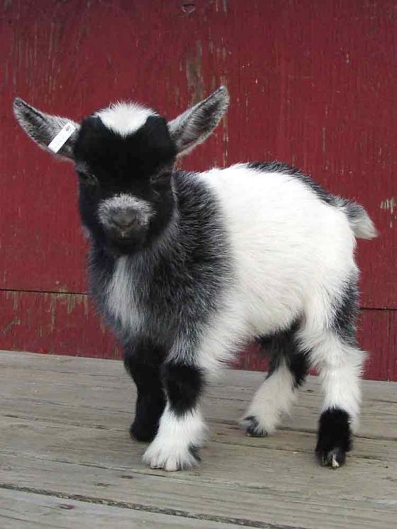 Baby Goat- @Sonia Williams Davis We can get you this goat for the back yard!