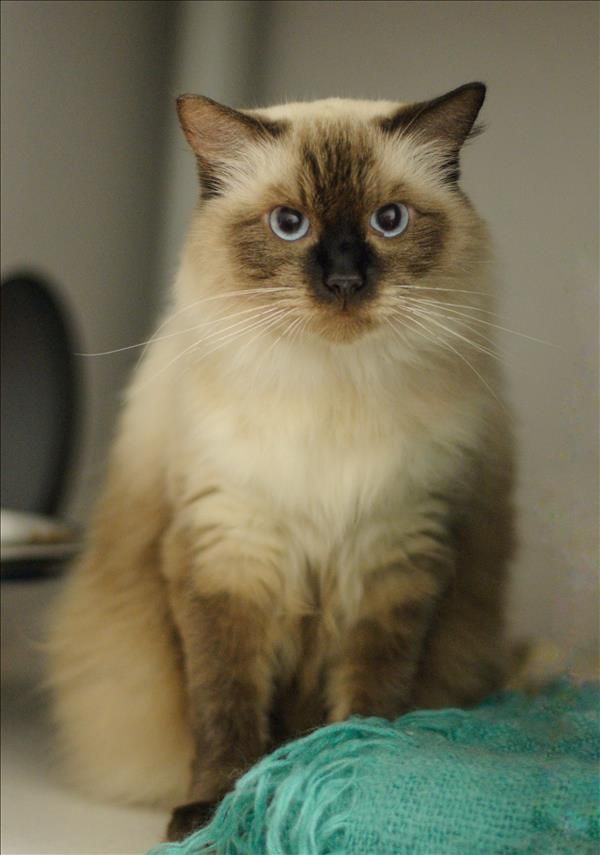 Coco is a gorgeous ragdoll cat. I'm very affectionate and loving, and I would love to become part of your family. Come meet in at the Wacol campus in Brisbane http://bit.ly/2rSPnWE