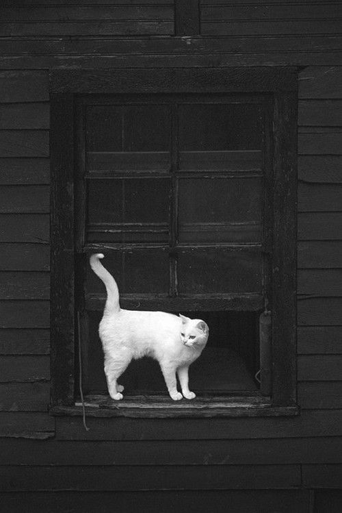 White cat in the window