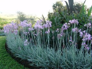 Variegated Society Garlic Forms An Excellent Border Plant With Its Contrasting Foliage And Flowers Michelle G Pinterest