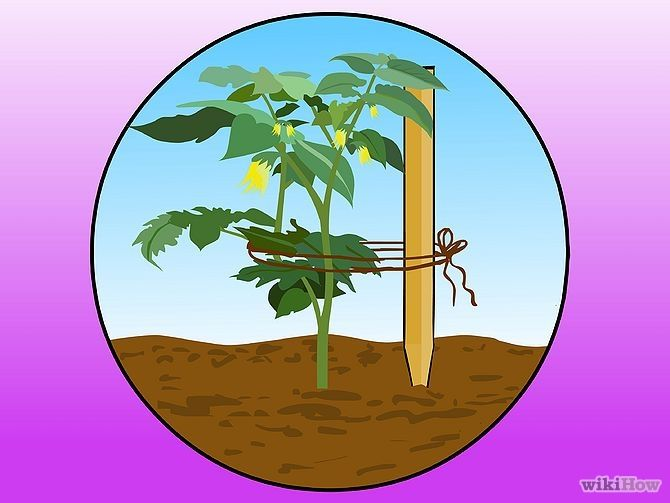 How to Stake Tomato Plants